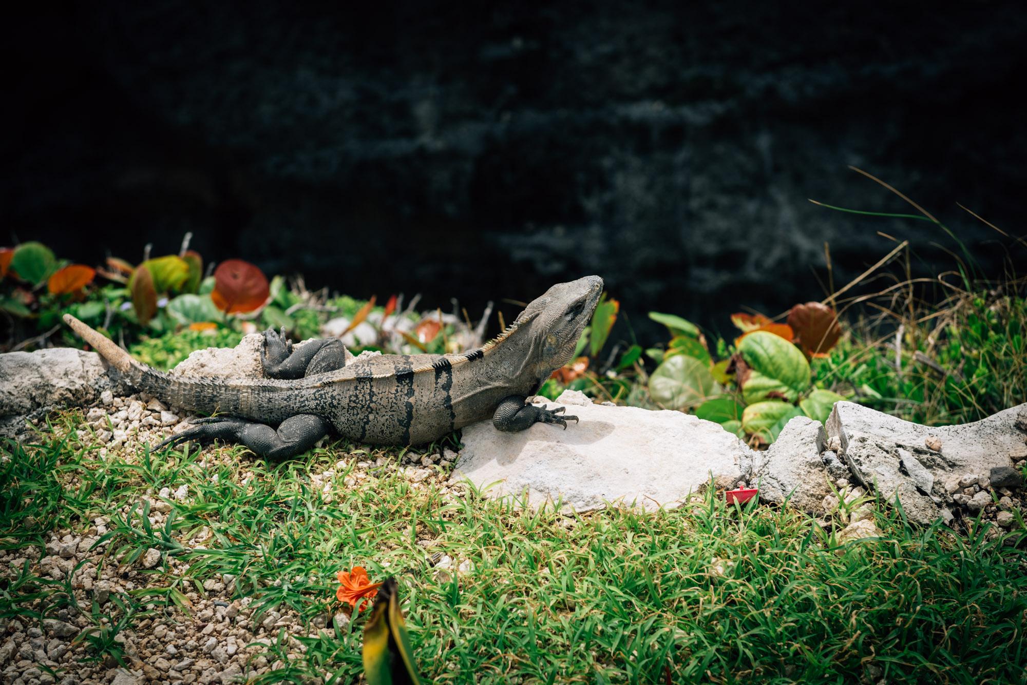 Iguana on cliff edge