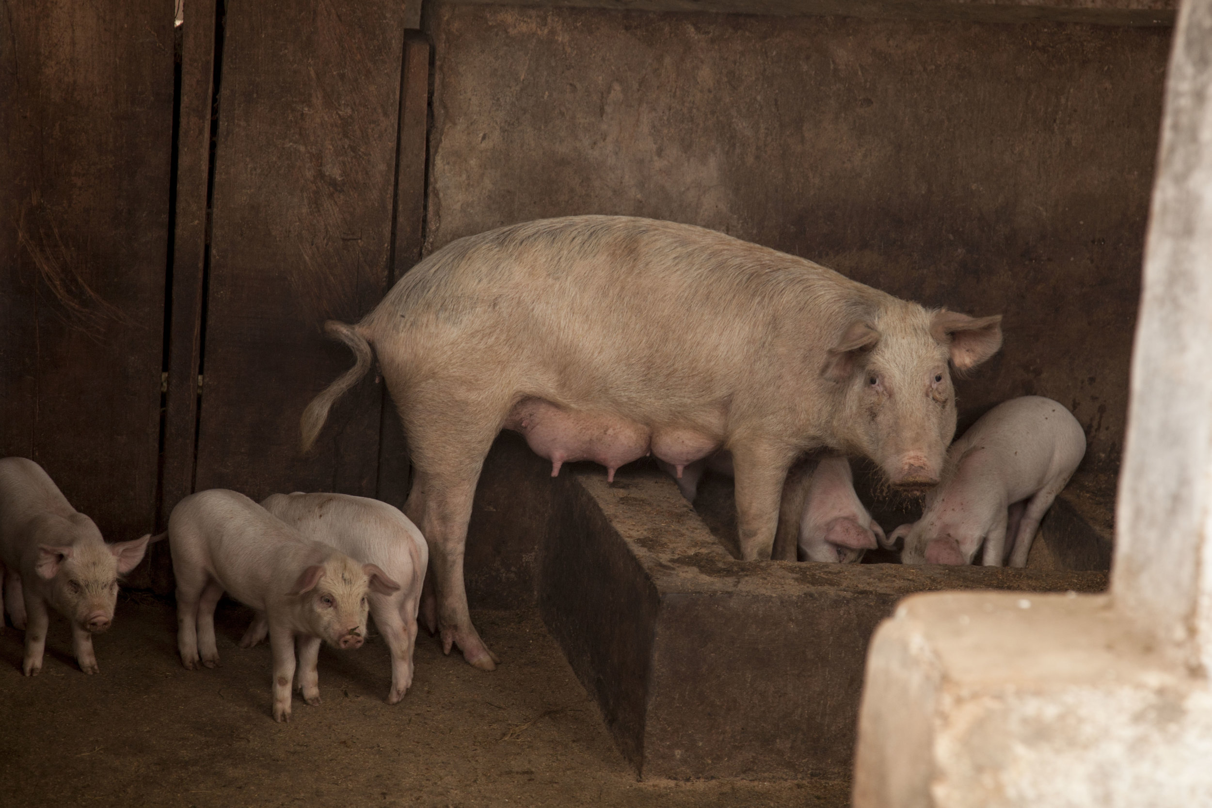 pig and piglets.jpg