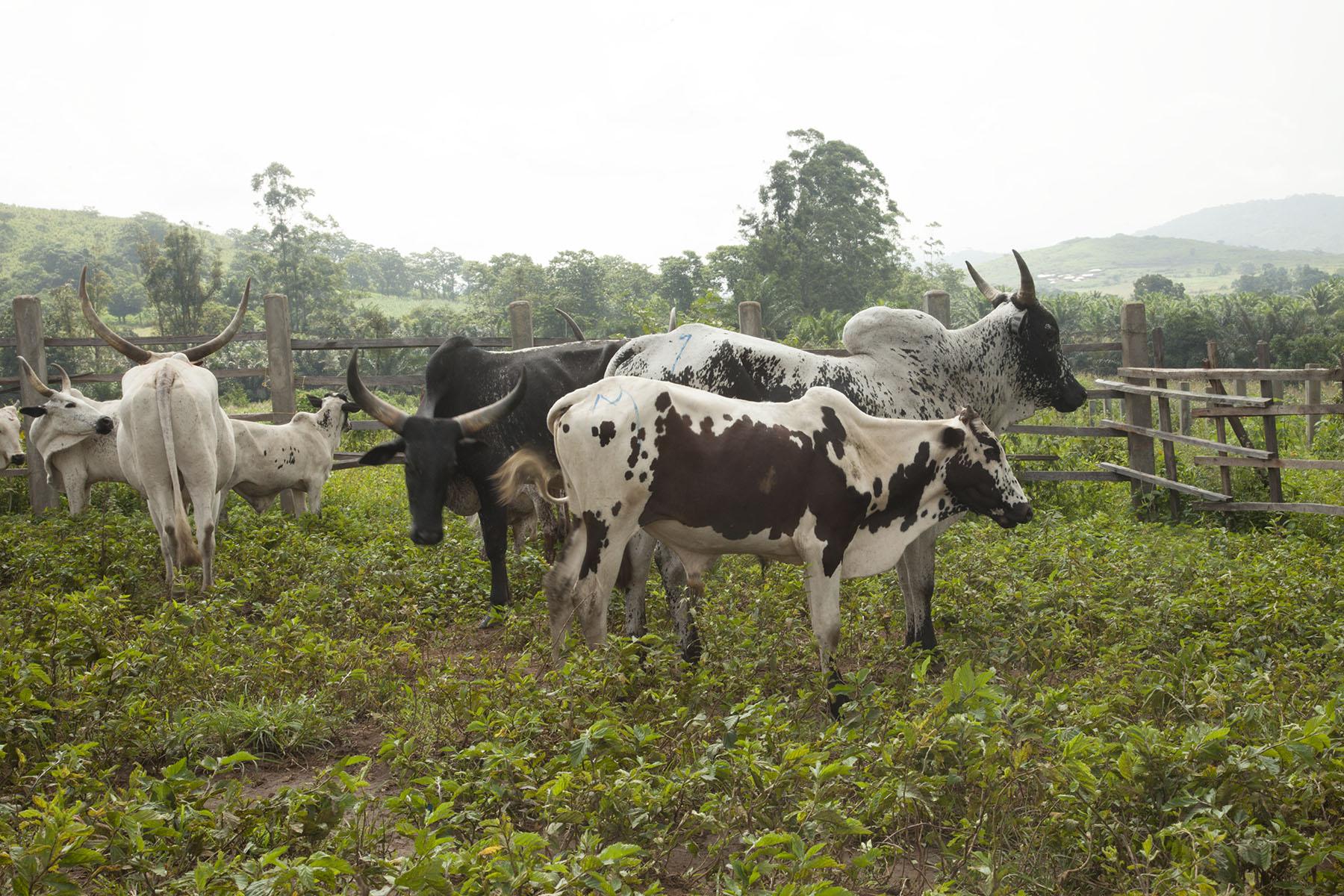 small cows1.jpg