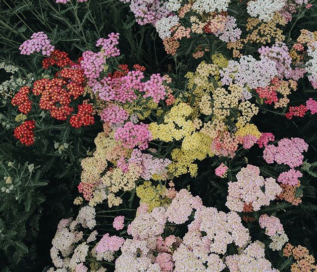 A little corner of the yarrow bed. Favorite!!
