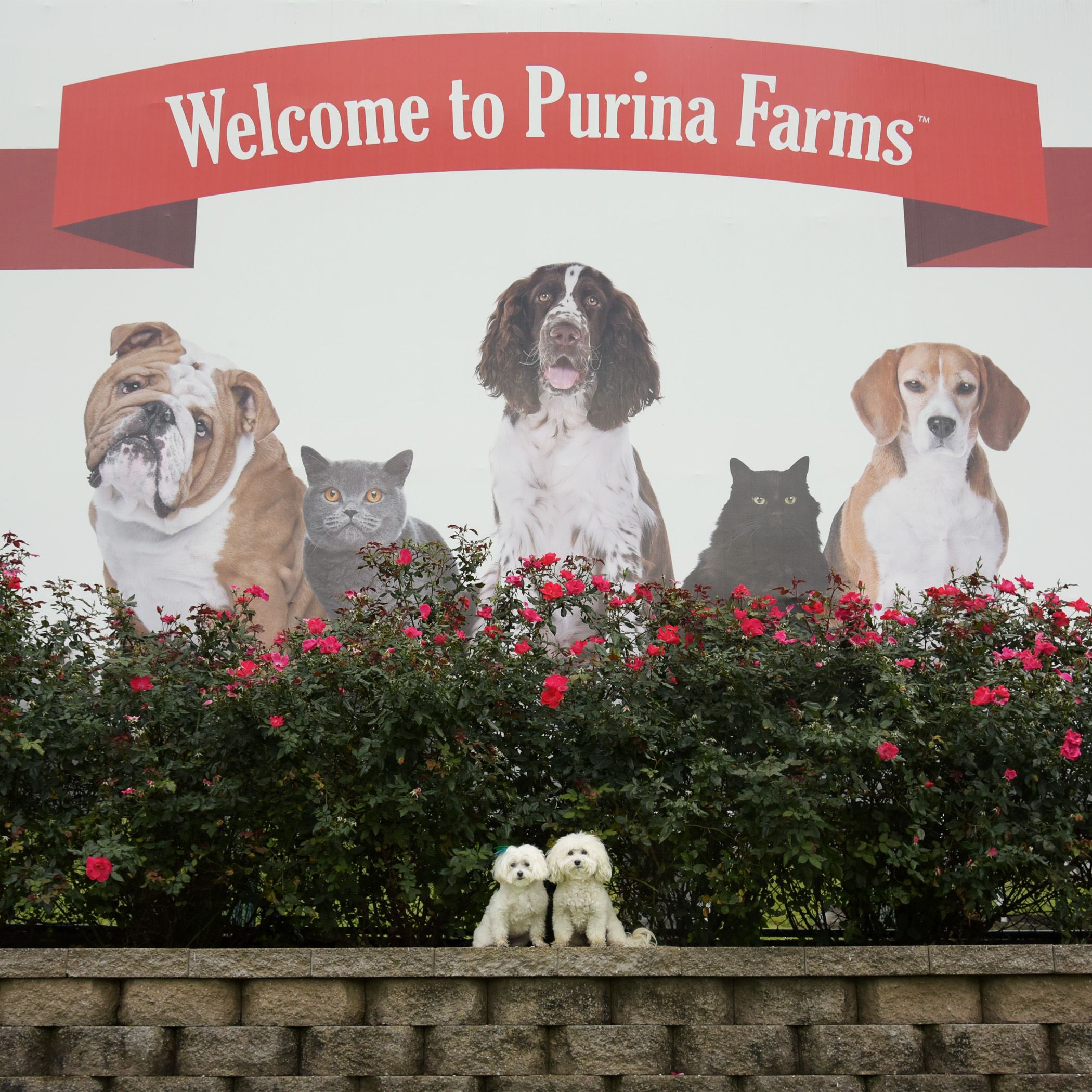 Ah yeah, we're just two little munchkins hanging out at the big Purina Farms in Gray Summit, Missouri!