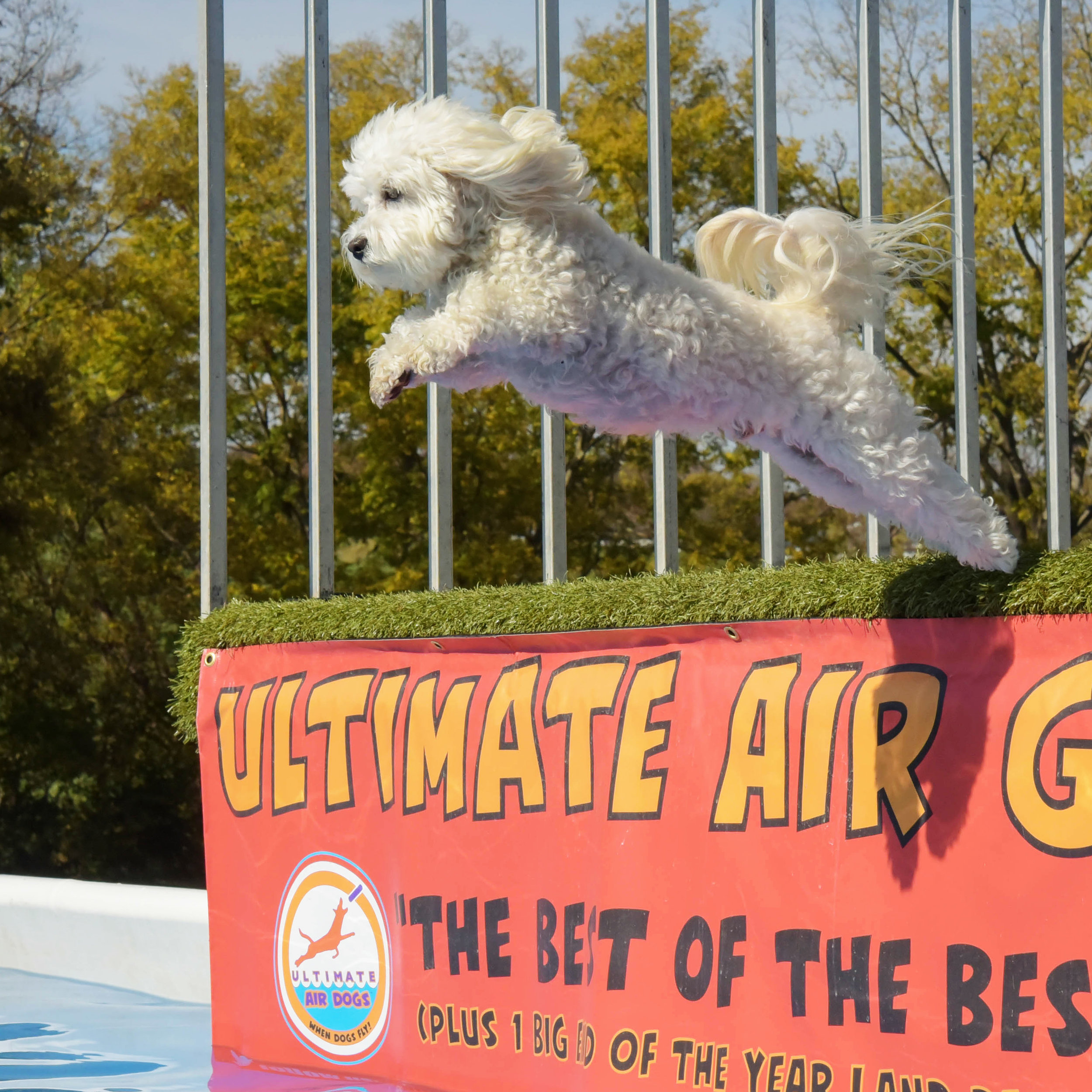 Today was the Featherweight Finals, and Bruiser jumped his longest jump of the weekend! 5 Feet! He didn't even need the ball, he was just ready to jump! (I apologize in advance for the motion sickness video…I get too excited and the camera goes all over the place!)