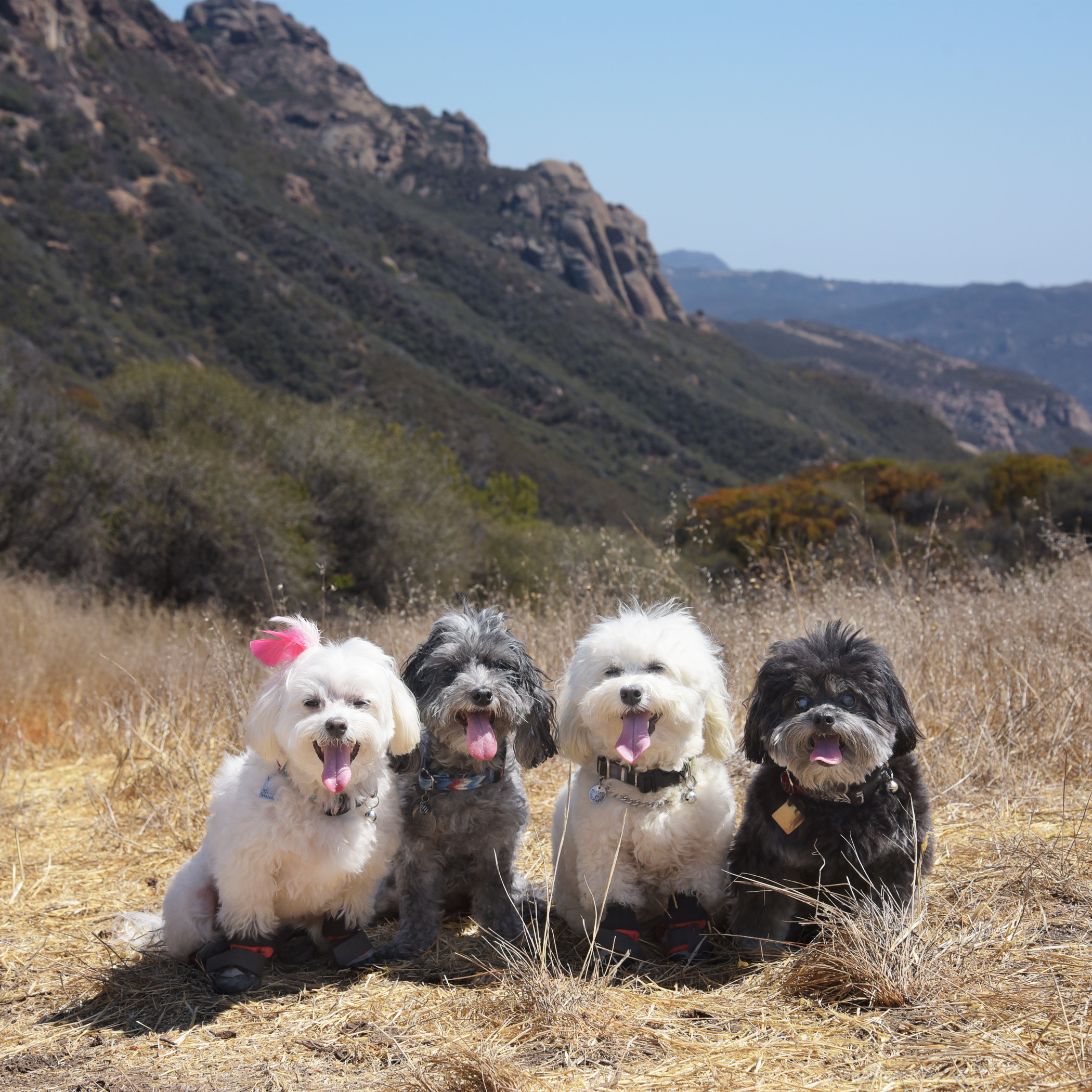 We tried to go for a hike in the Santa Monica Mountains, but it turned out to be way too hot. We went a short distance and both Mommy & Daddy said nope, this is too much for you guys. (Personally, we just think they're weanies and weren't up for the hike!) But, we couldn't leave without getting one memorable photo. You can tell how hot it was, just by the length of our tongues…and the fact that you can actually see Benji's tongue! It's a rare sighting!