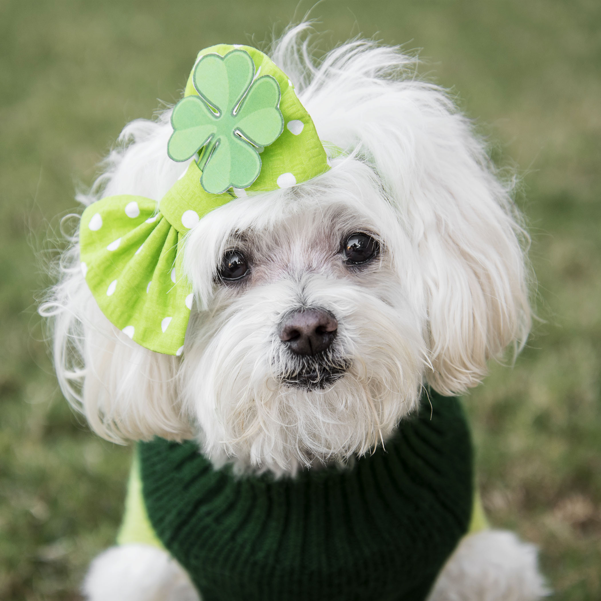 I told Mom there was no way I was wearing a top hat and bow tie, so she had to get creative with a little diva flare for our shared St Patty's day attire! Mom says I look uber fabulous and oh so sweet, so I guess her creativity worked!