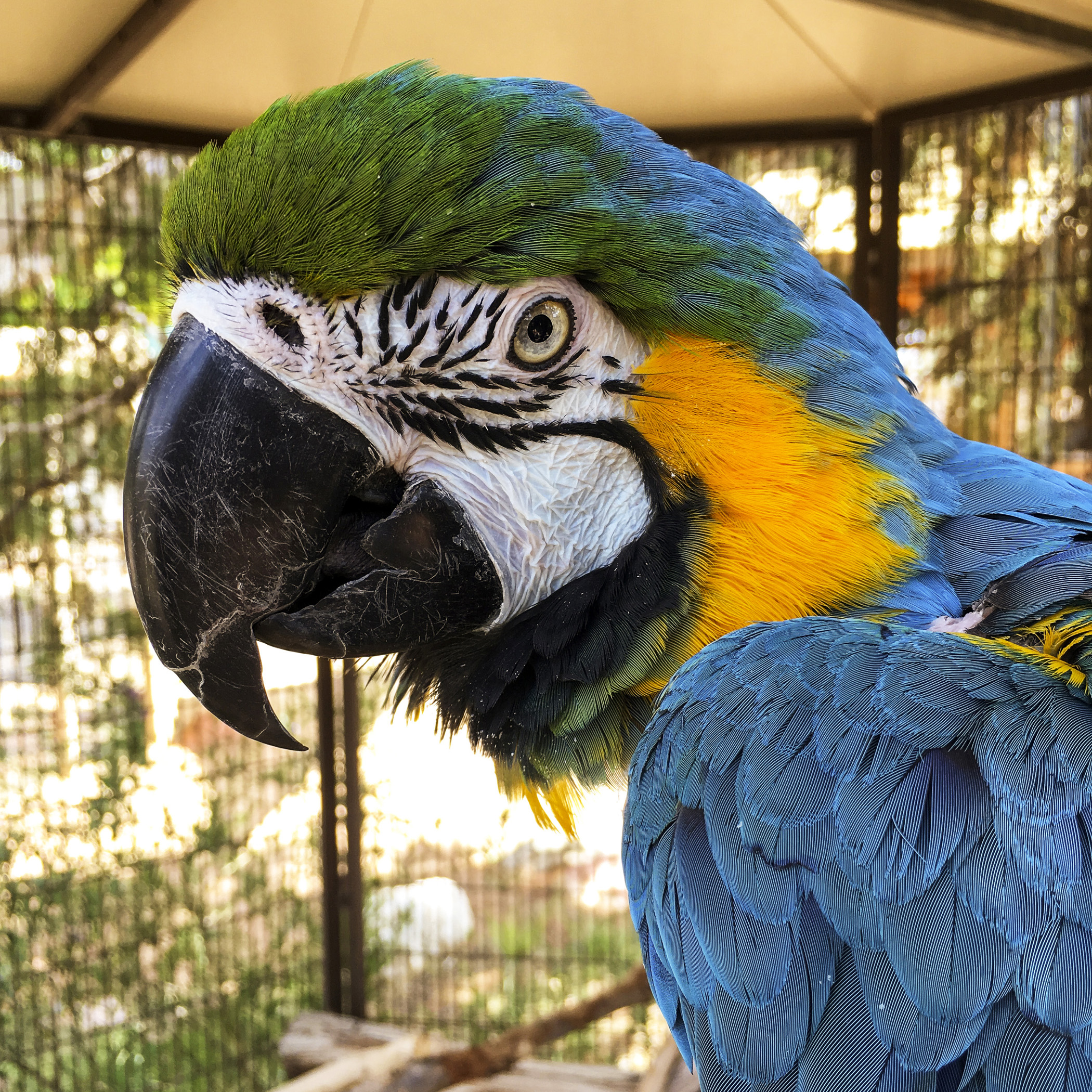 Small parrots, like cockatiels, may live to be 20–30 years old. Larger parrots, like cockatoos or macaws, may live to be 60–80 years old. So, adopting a parrot is truly a lifetime commitment. While adopting a dog or a cat is a commitment to the lifetime of the animal (generally 10–15 years), adopting a parrot is a commitment for your lifetime – and beyond. If you think your parrot might outlive you, you will need to arrange for a future home for your parrot after you are no longer around.