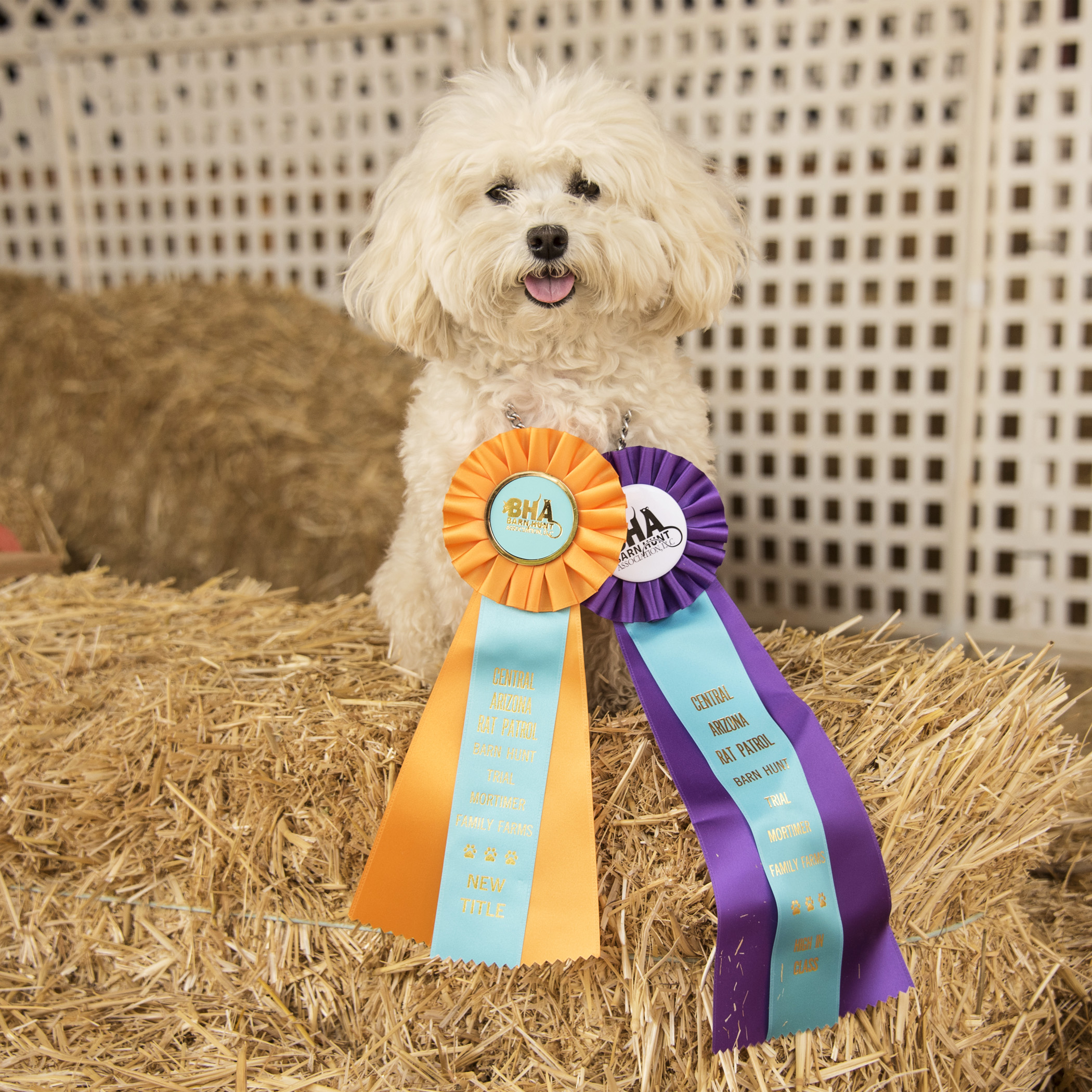When your ribbons are bigger than you, I think that means it was a hugely successful weekend! Not only did I earn my Novice Title, but I also had the quickest time in my class…that's compared to dogs of all sizes!!