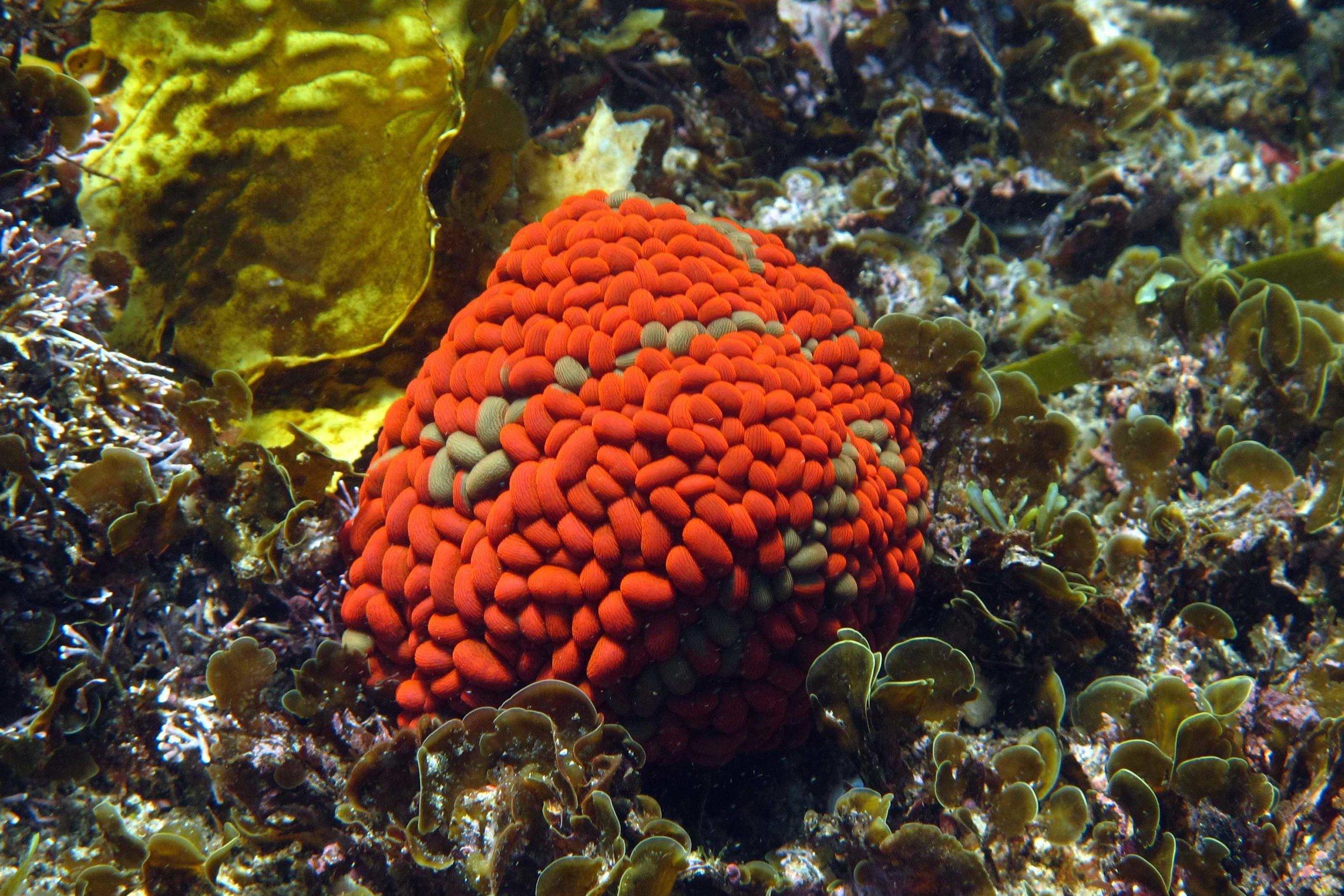 SI swimmining anemone 25.jpg