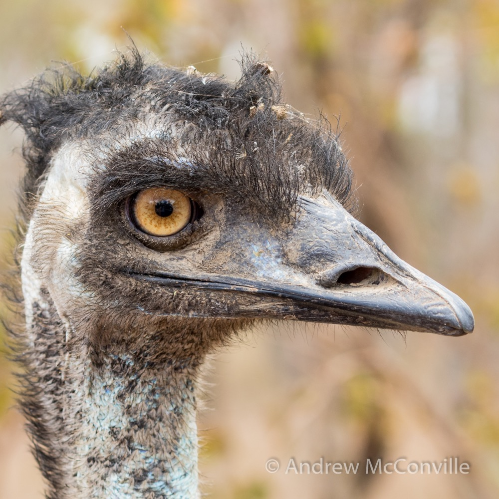 """Are you looking at me?"" An Emu (Dromaius novaehollandiae).  Image credit: Andrew McConville."