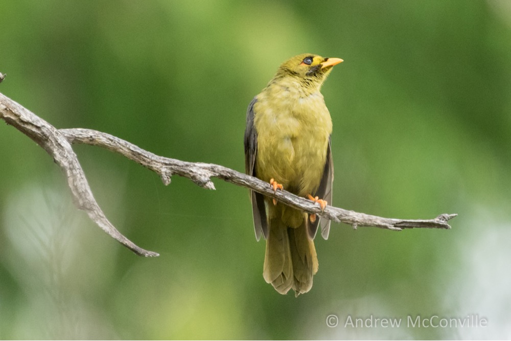 A Bell Miner (Manorina melanophrys). Image credit: QG player - Andrew Mc