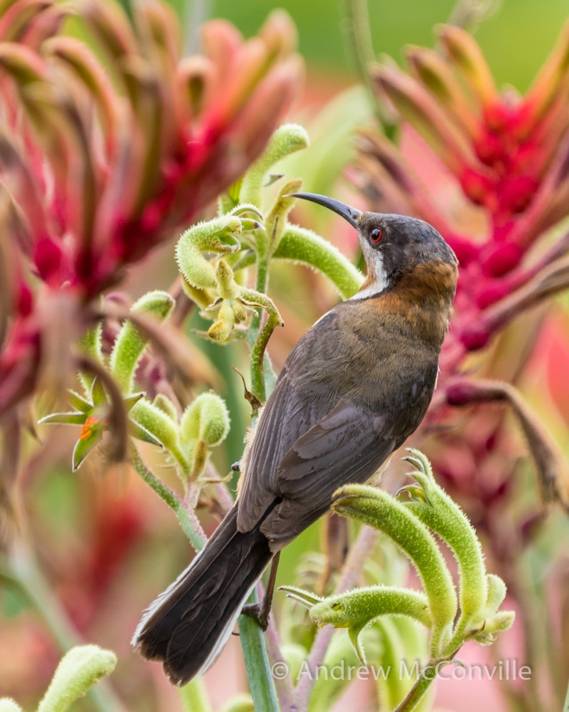 Eastern Spinebill (Acanthorhynchus tenuirostris). Image credit: QG player Andrew Mc