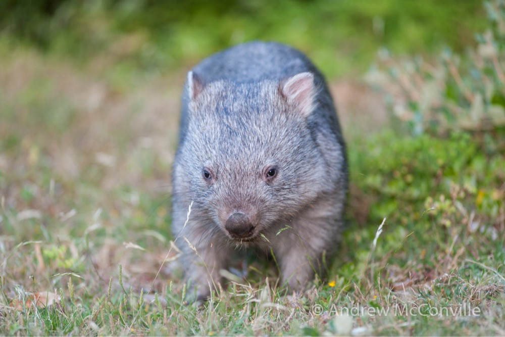 Common wombat (Vombatus ursinus). Image credit: QG player - Andrew Mc.