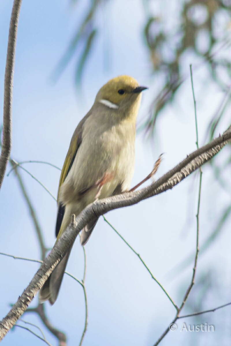 White-plumed Honeyeater (Lichenostomus penicillatus). Image credit: QG player - Austin.
