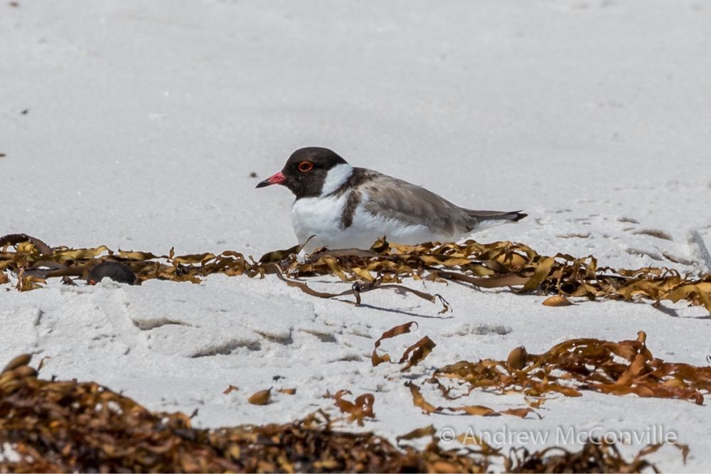 Hooded plover (Thinornis cucullatus). Image credit: QG player - Andrew Mc.