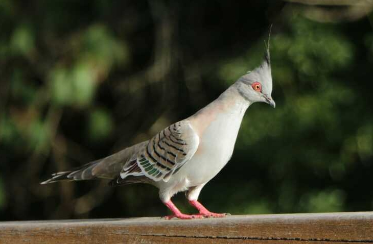 8. Crested Pigeon (Ocyphaps lophotes)
