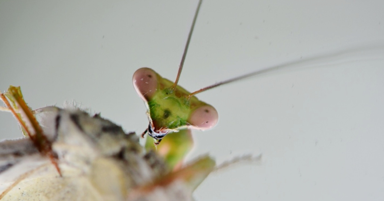 = 10. Praying Mantises (family Mantidae)