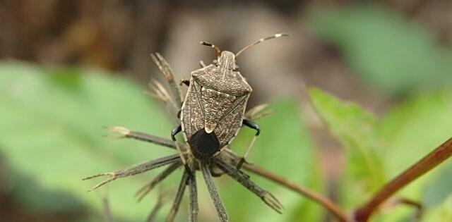 8. Stink bugs (family Pentatomidae)