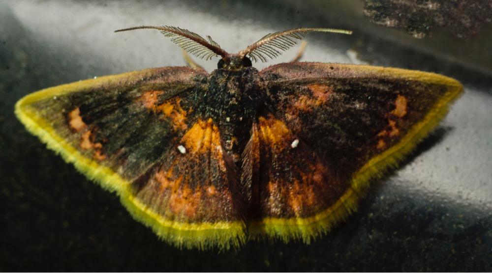 4. Geometer moths (family Geometridae)