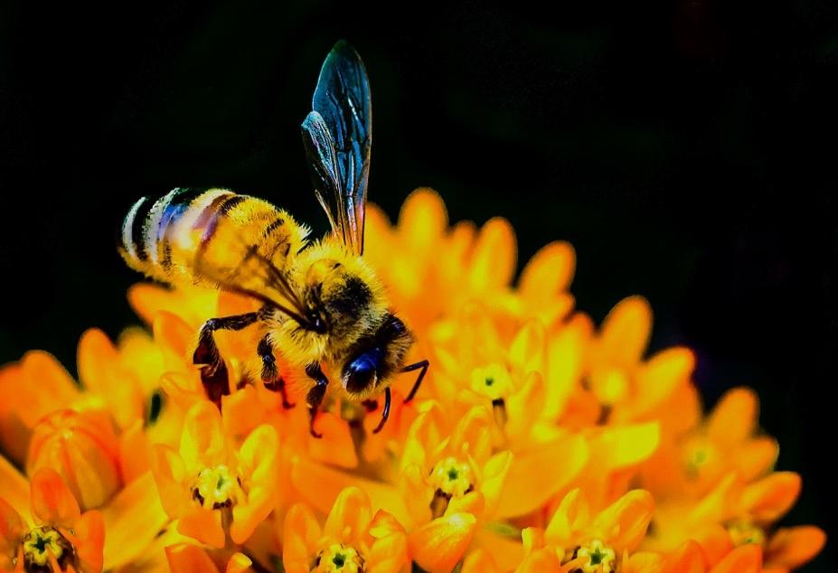 5. Bees* (family Apidae)