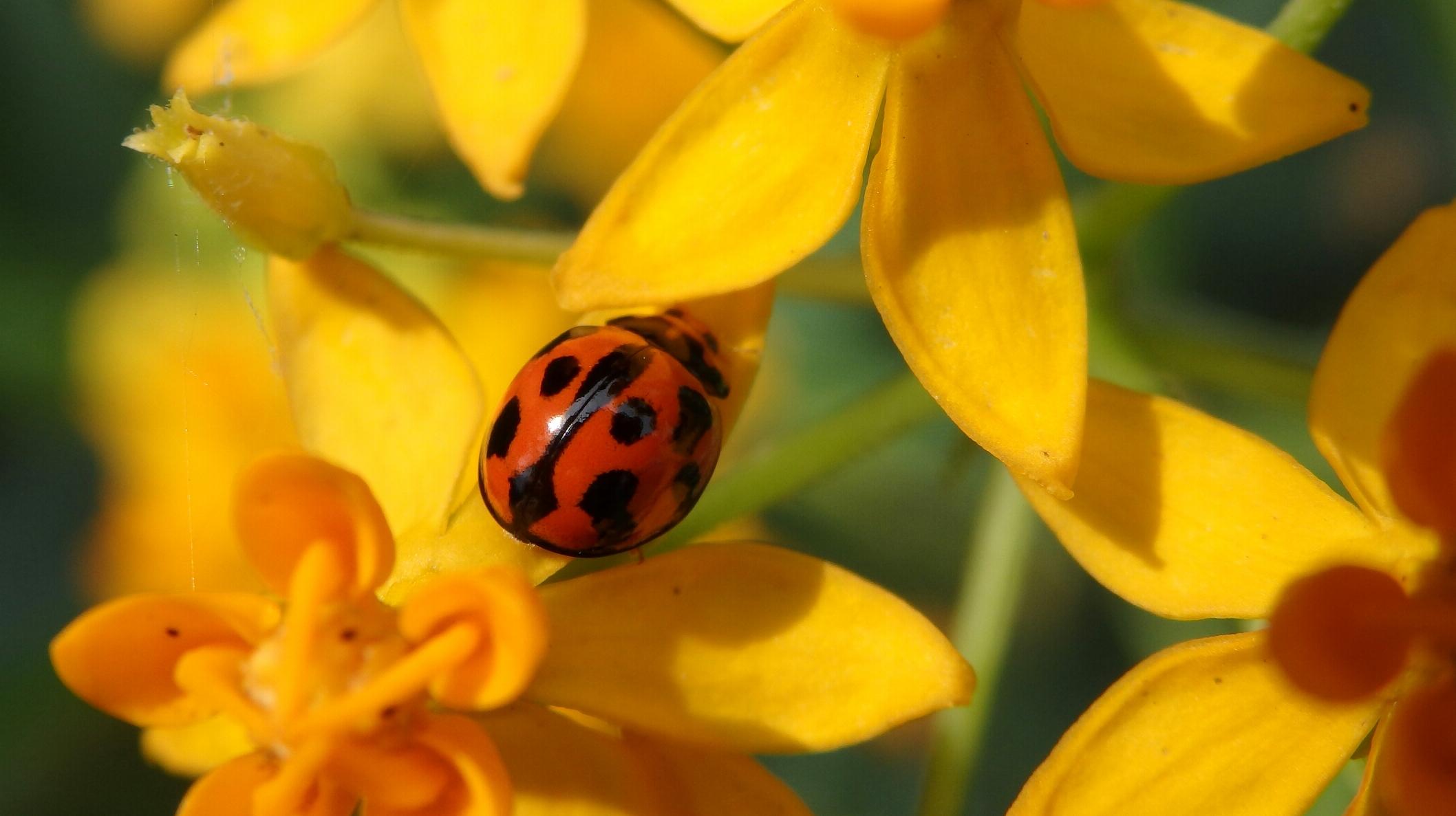 6. Ladybird beetles (family Coccinellidae)