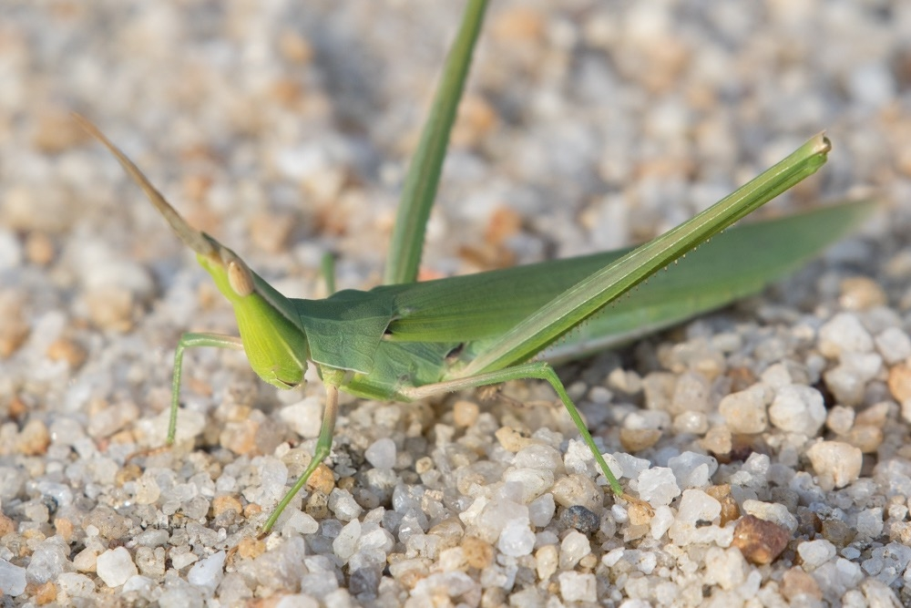 7. Grasshoppers* (family Acrididae)
