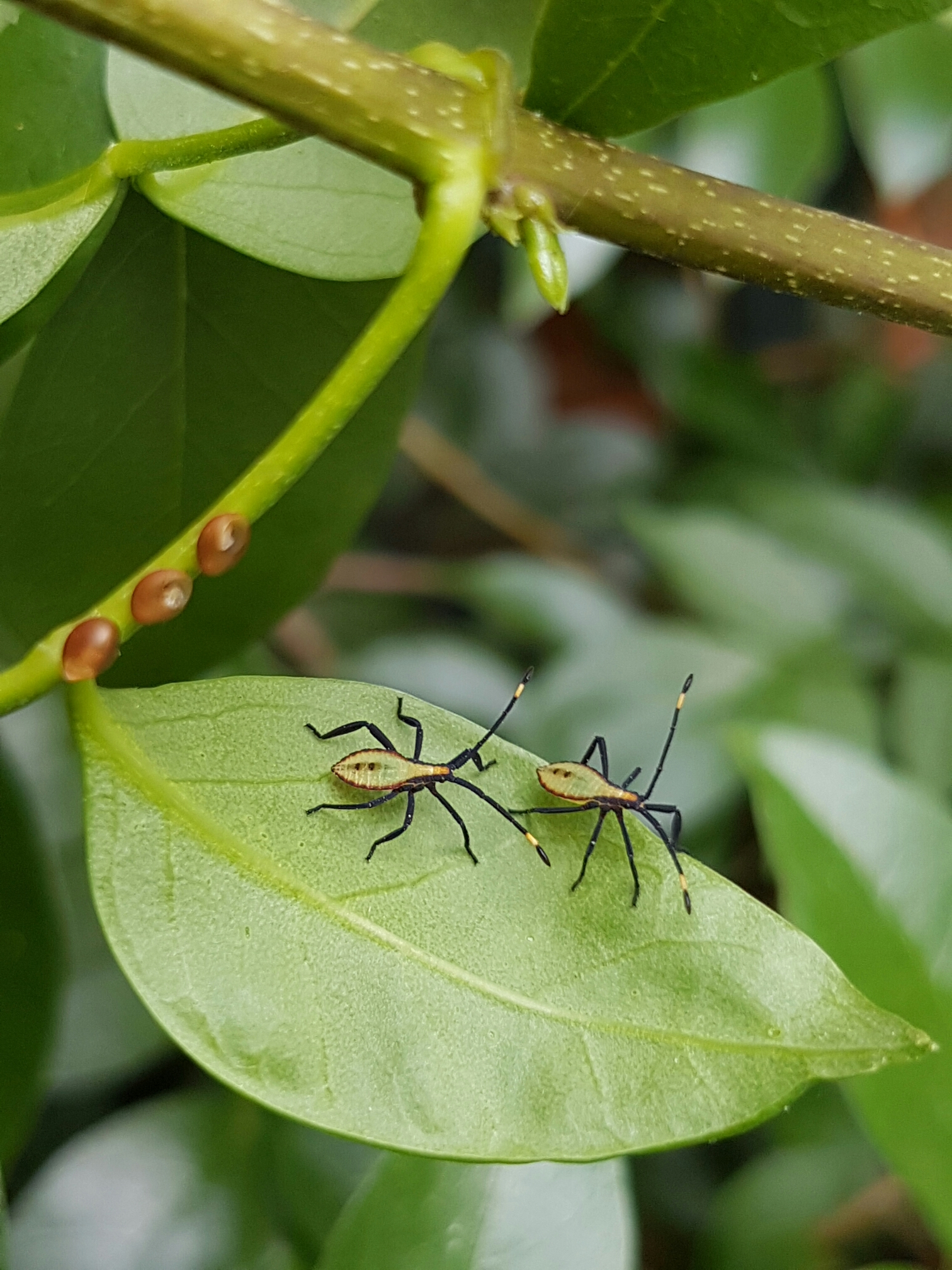 Image: 'Eucaluptus tip wilter bug' ( Amorbus sp. )by QuestaGamer Savage, CC BY-NC .