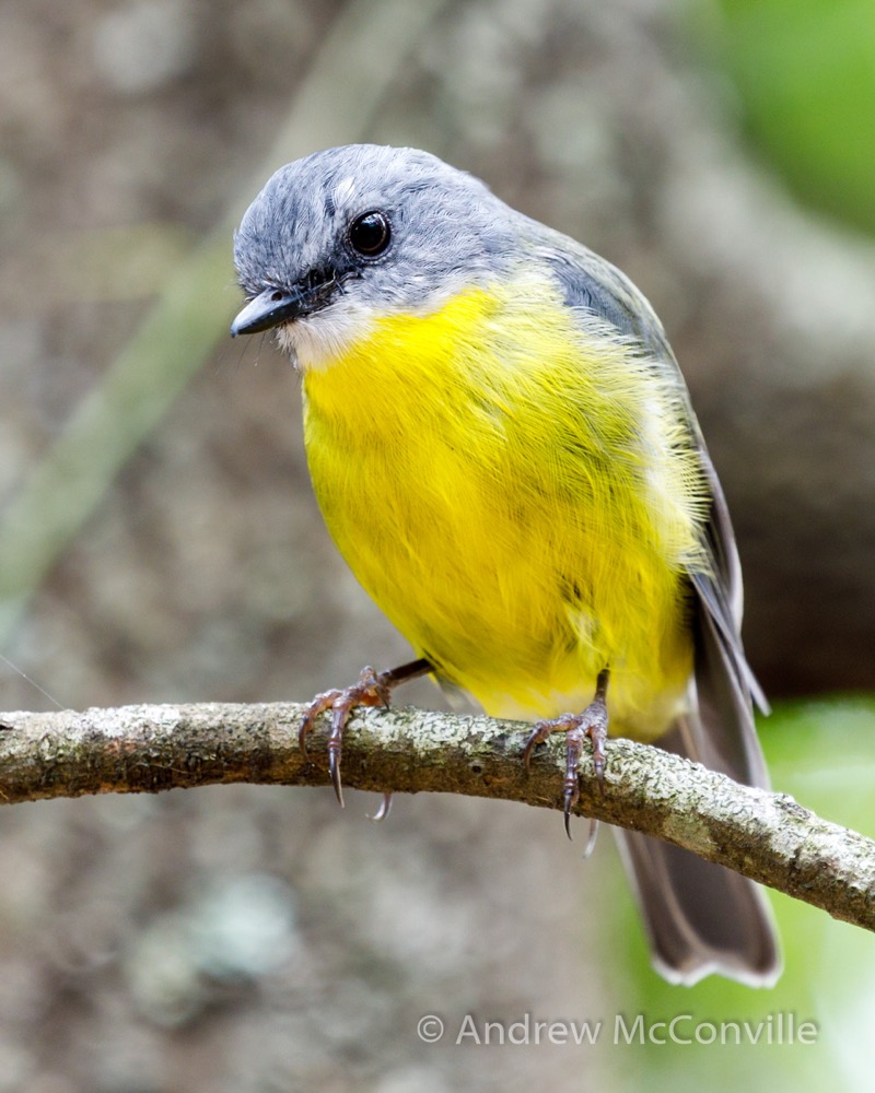 Image: 'Eastern Yellow Robin' (Eopsaltria australis)by QuestaGamer Andrew Mc, CC BY-NC .