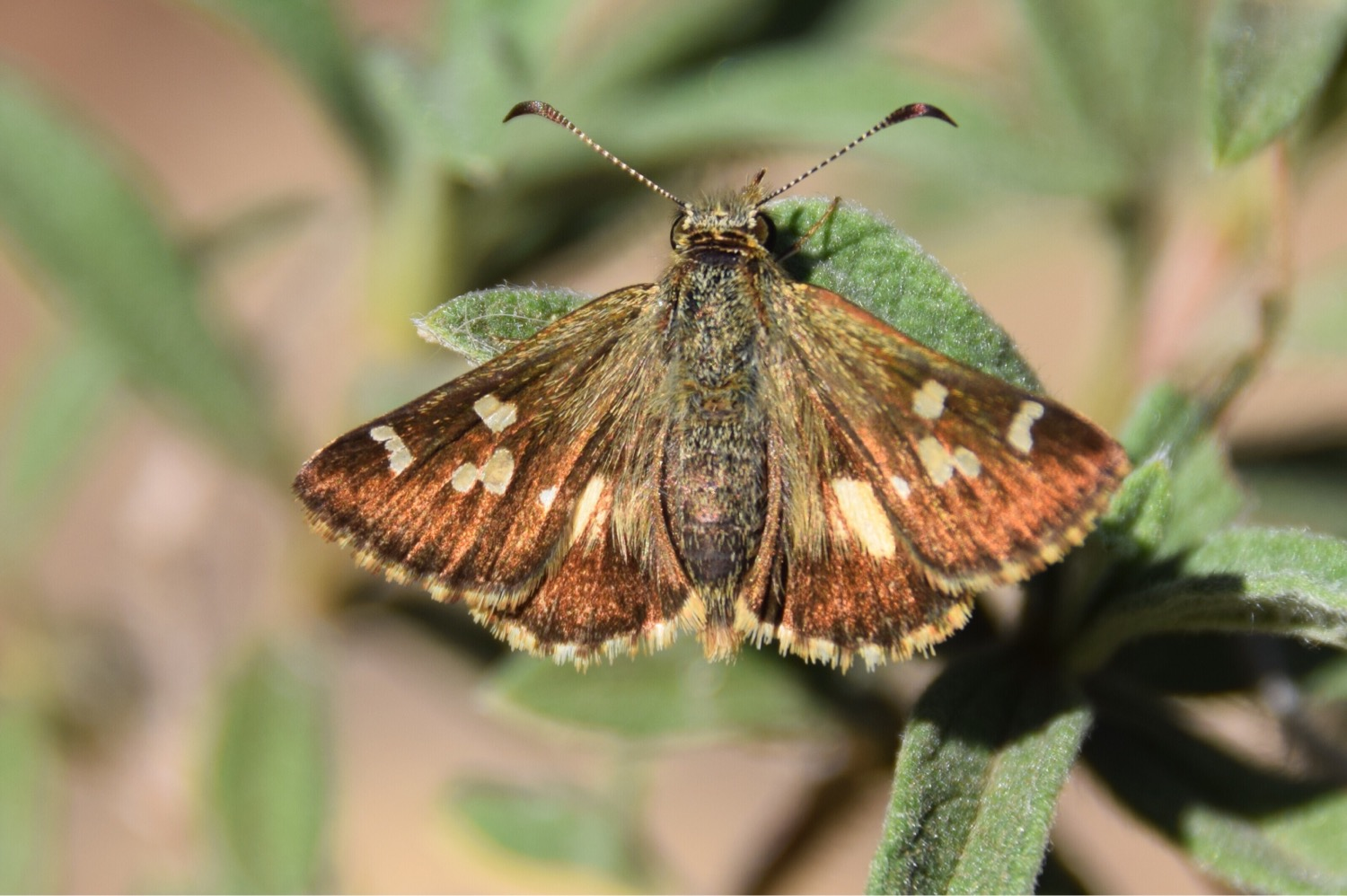 Image:  F amily-  Hesperiidae  , by QuestaGamer  Holly Golightly , CC BY-NC .