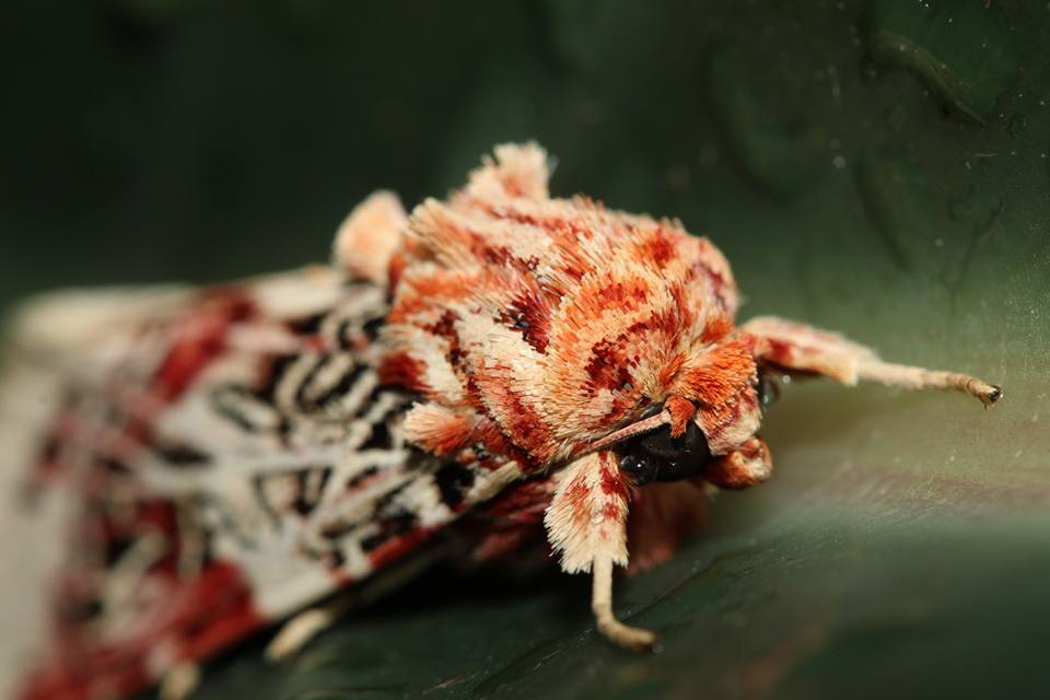 Image:    Spodoptera picta   , by QuestaGamer  Savage , CC BY-NC .