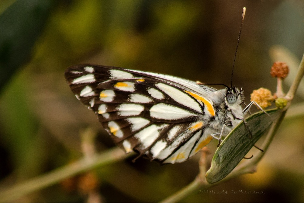 Image:   Belenois java   , by QuestaGamer  Melinda , CC BY-NC .