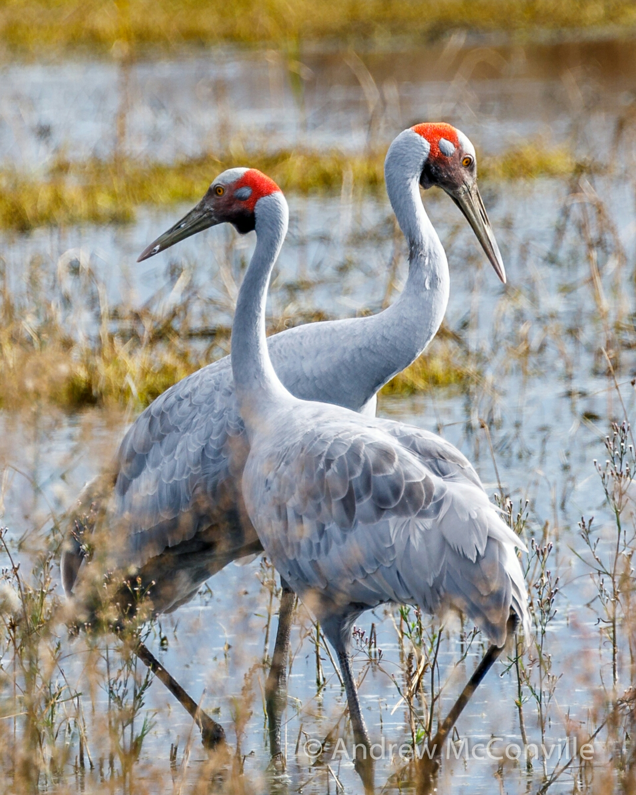 Score: 582.    Image:  Brolga  (Grus rubicunda), by QuestaGamer Andrew Mc  ,  CC BY-NC