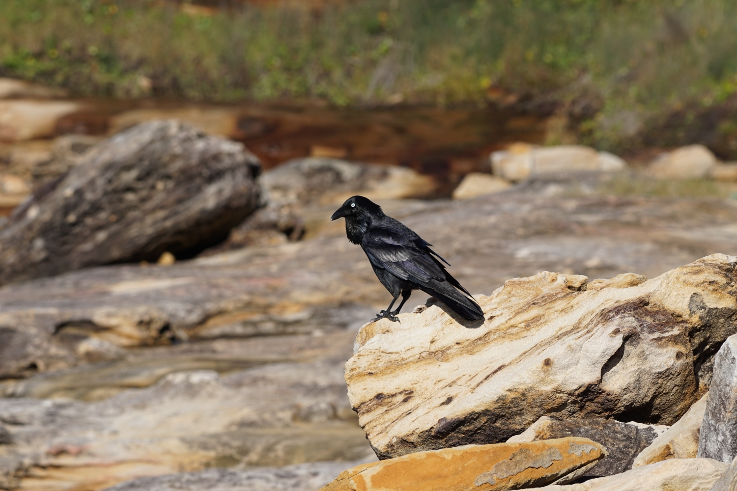 Image:  Australian raven  (Corvus coronoides) by Robbi and Elisa,  CC BY-NC