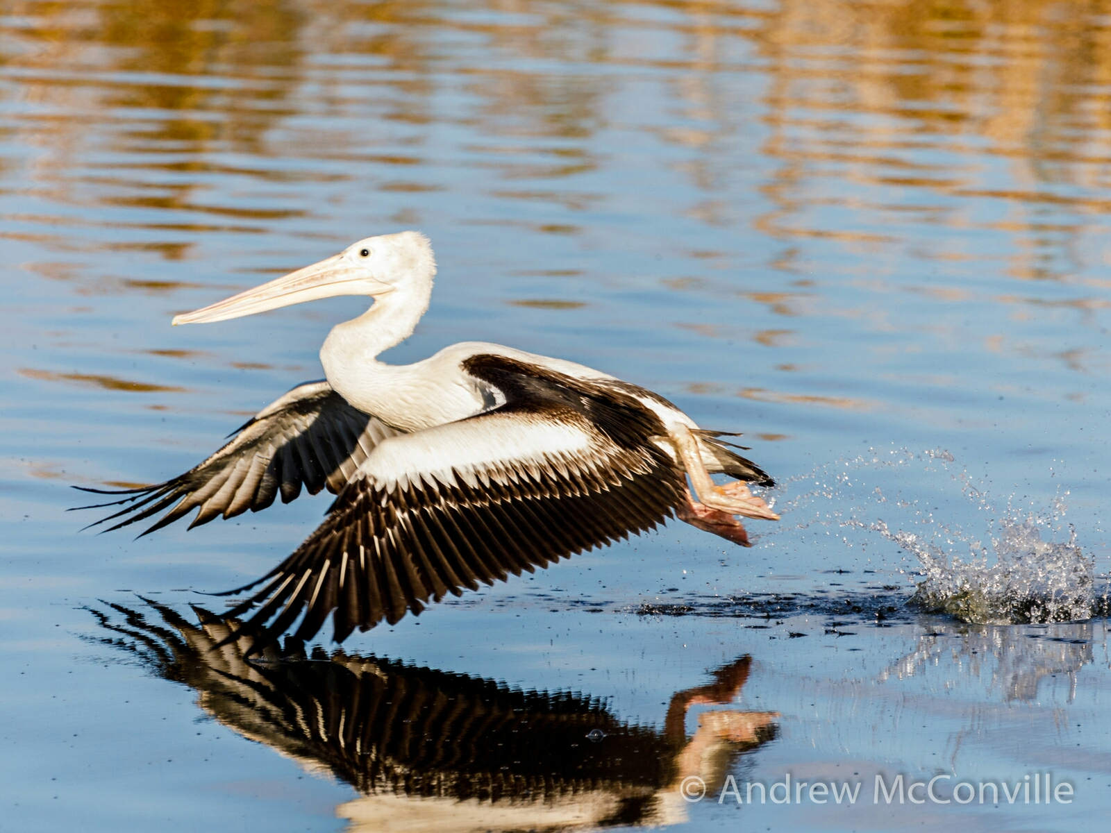 Image: Australian Pelican  (Pelecanus conspicillatus) by Andrew Mc,  CC BY-NC