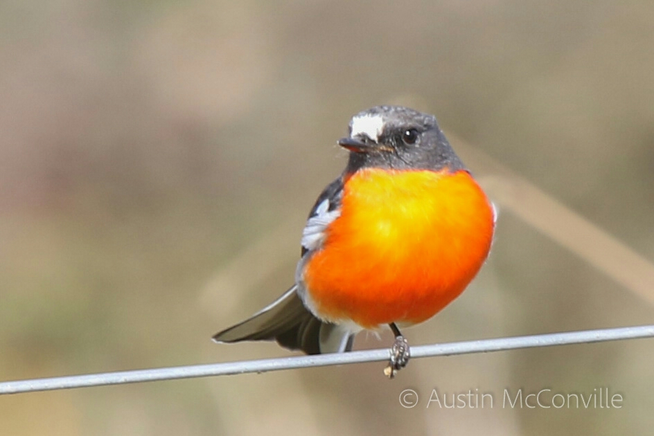 Image:  Flame robin  (Petroica phoenicea) by Austin,  CC BY-NC