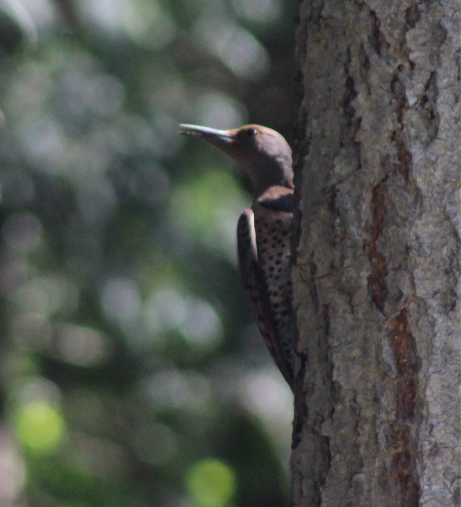 Image: Northern flicker, subspecies cafer (Colaptes auratus cafer), by QuestaGamer Scott Gilmore, CC BY-NC .