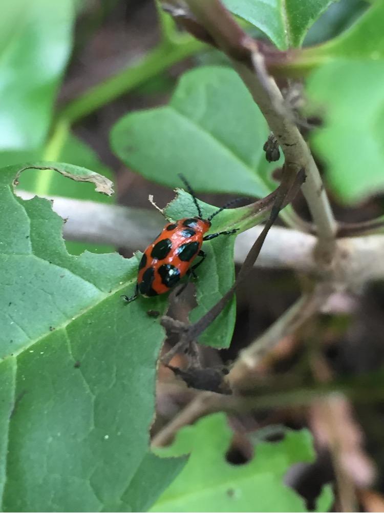 Leaf Beetle  (Phyllocharis sp.) by Brielle, CC BY-NC