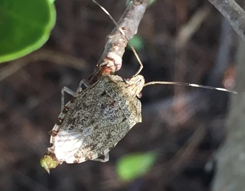Shield Bug (Pentatomidae). Photo by Brielle.