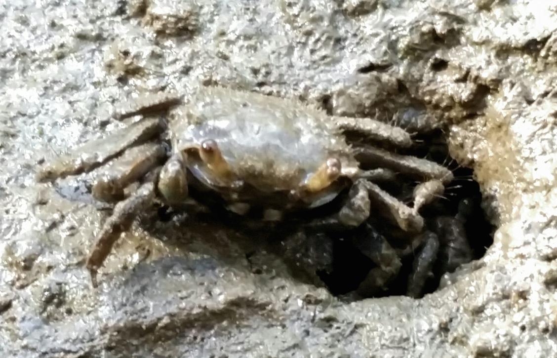 Furry-clawed Crab  (Australoplax tridentata) by Fox101, CC BY-NC