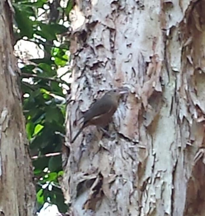 Image:  Little Shrikethrush  (Colluricincla megarhyncha) by katieb ,  CC BY-NC