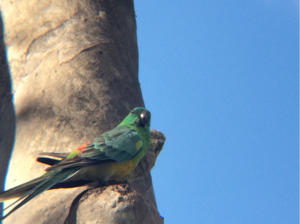 Image: Red-rumped Parrot by   Munnings_2  , CC BY-NC