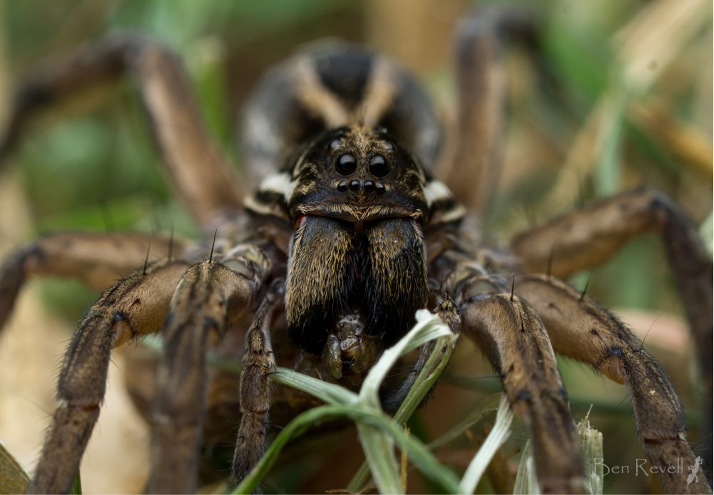 Image: Wolf Spider by   Ben Revell  , CC BY-NC