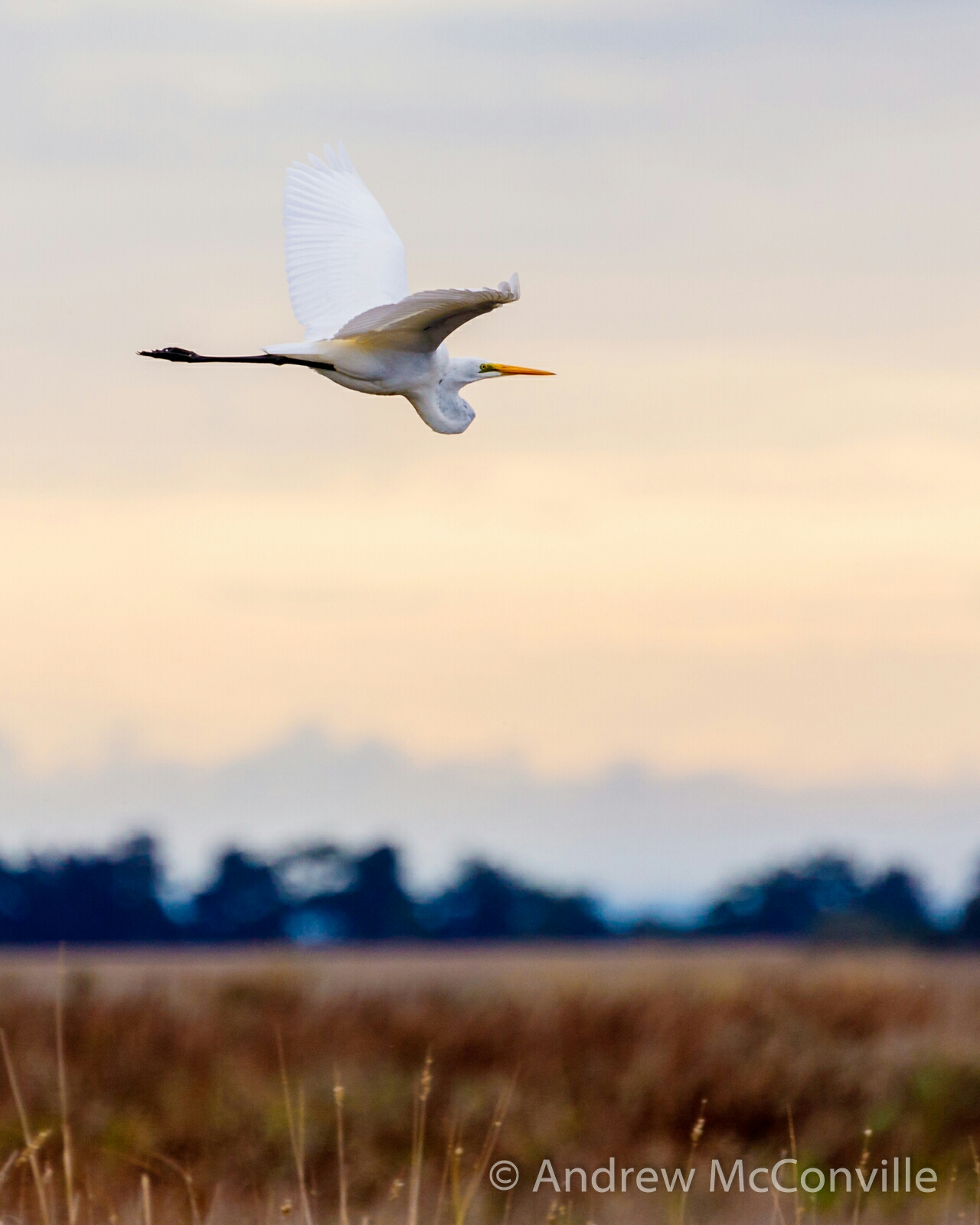 Image:  Great egret ( Ardea alba ) by QuestaGamer 'Andrew Mc' (  CC BY-NC 2.0  )