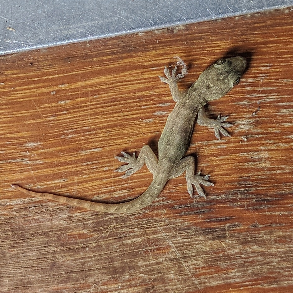 The Indo-Pacific or Fox Gecko (Hemidactylus garnotti ). Photo by QuestaGame player, Jonathan Pugh  (  CC BY-NC 2.0  ) .