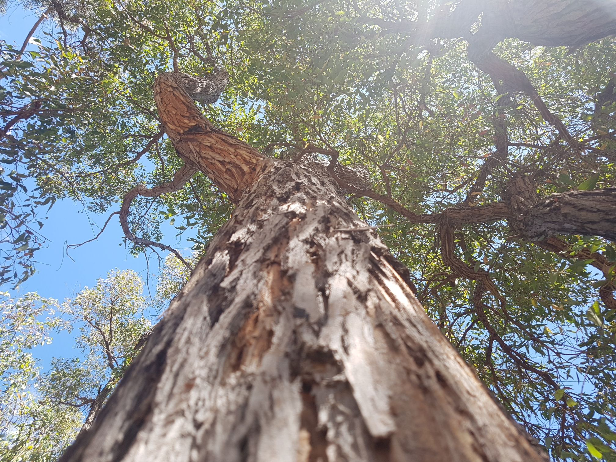 Best Eucalypt Sighting Winnr: EntropyAndRoar sent in this lovely sighting of an Jarrah, ( Eucalyptus marginata ). This species is iconic to south-western Western Australia and has been heavily harvested for timber.