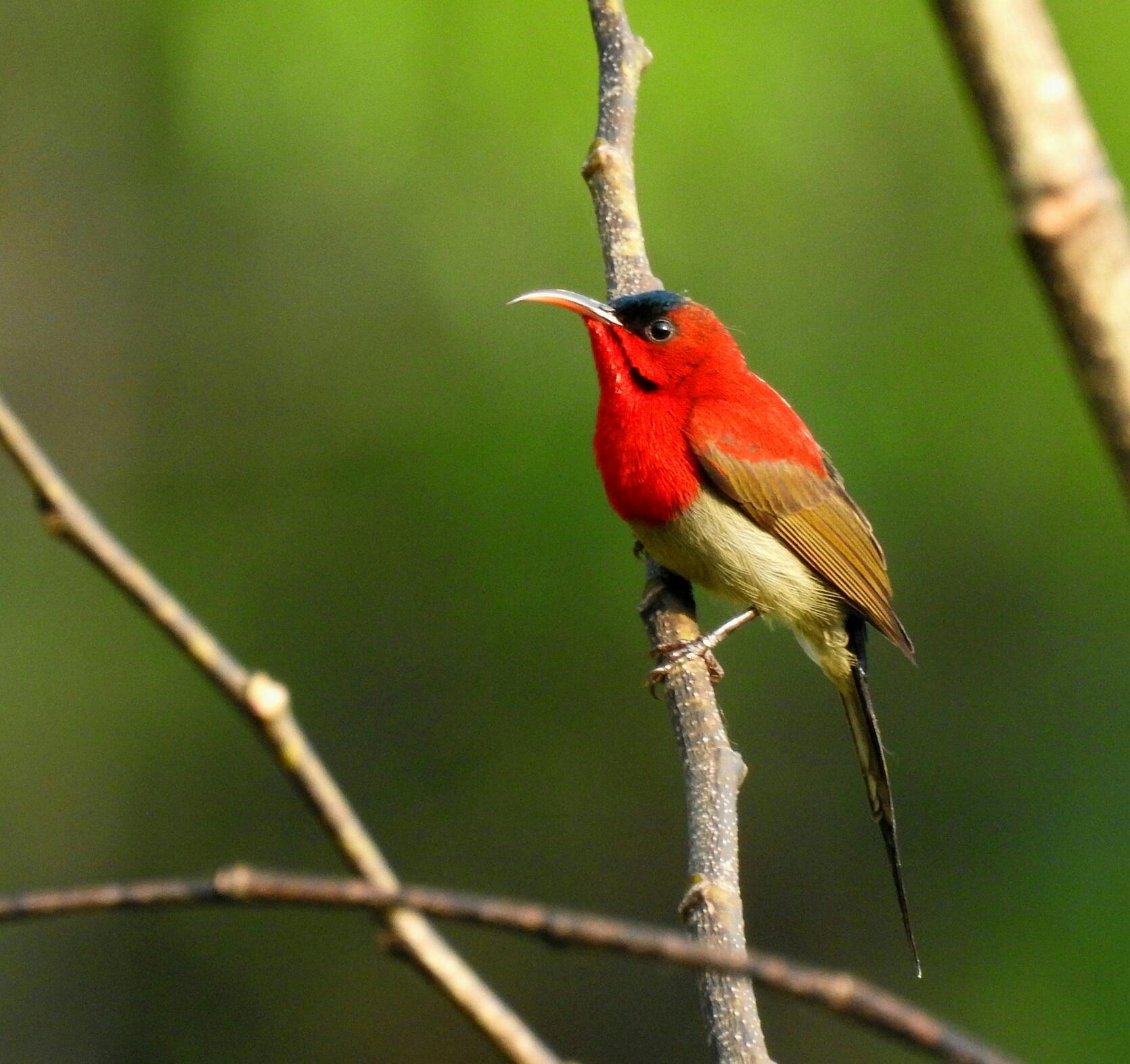 Image:  Yellow-backed Sunbird ( Aethopyga siparaja )  by Tashi (Royal University of Bhutan)    CC BY-NC