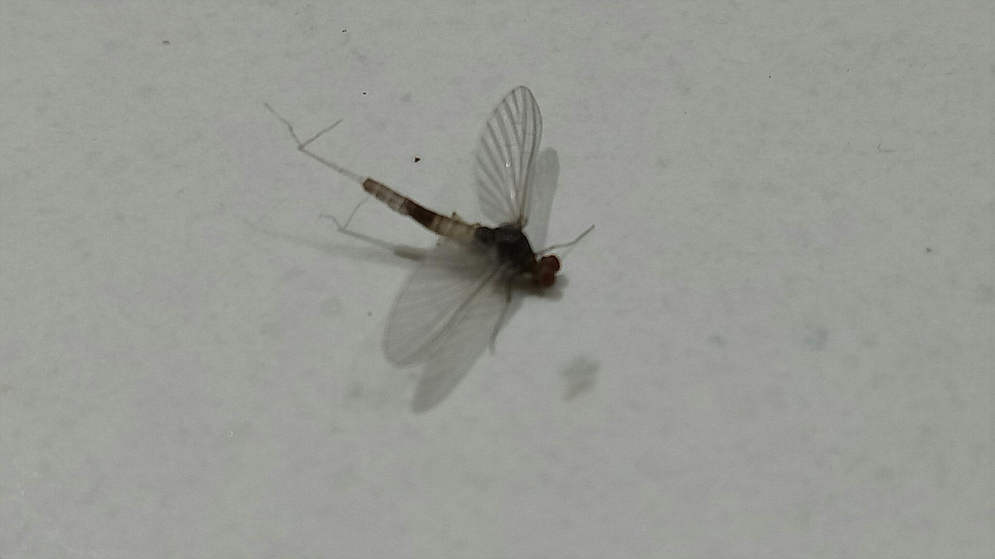 Image: mayflies  (Ephemeroptera)  by beach  CC BY-NC