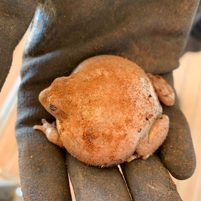 Check out this frog - not a potato - dug out of a vegetable garden by @QuestaGame player Cat.