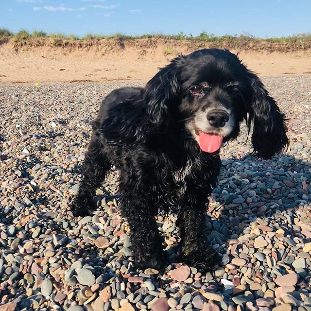 It was take your pup to work day. She wasn't particularly helpful, but I got a few pebbles gathered. #cockerspaniel #beach  #Novascotia