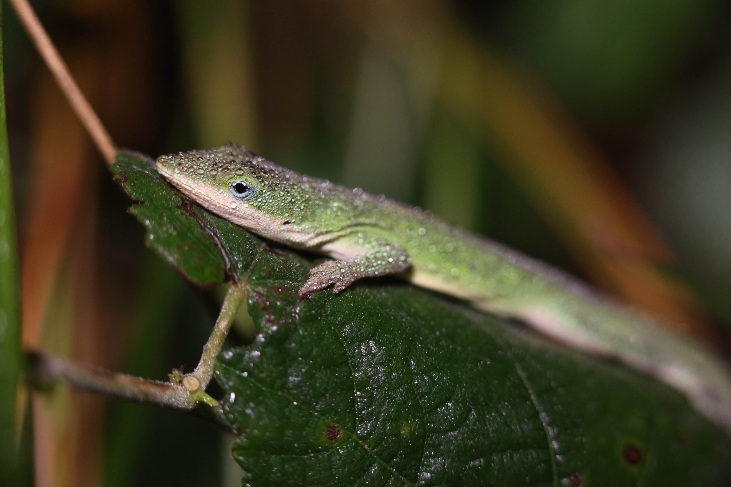 KD1A4859 Green Anole Aransas NWR Dec 2015 1 (3).jpg