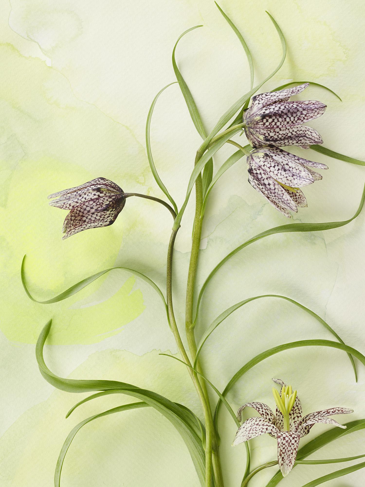 Fritillarias.jpg