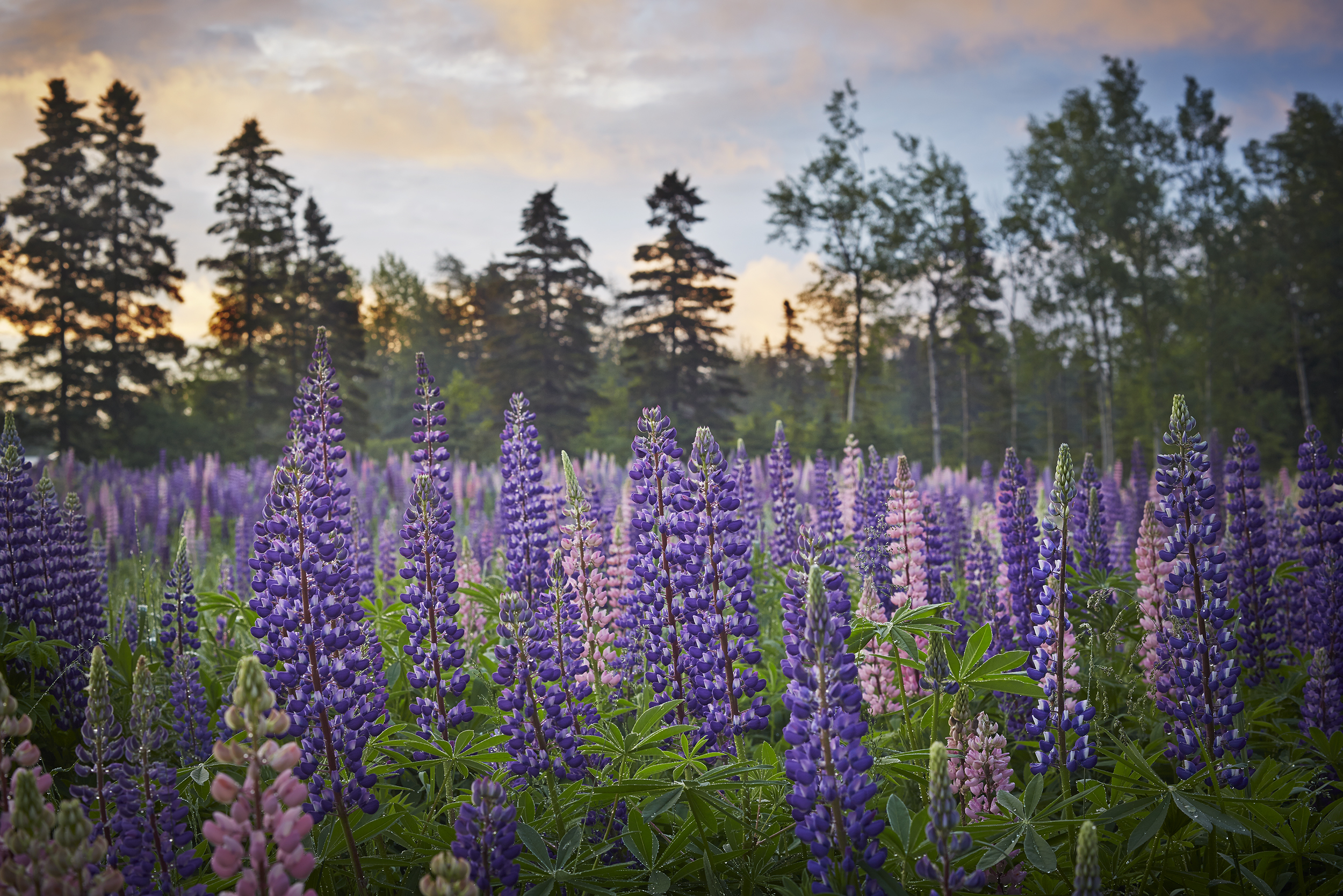 Lupin Meadow at Jardin de Métis